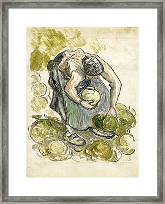 Woman Picking Cabbage Framed Print by Camille Pissarro