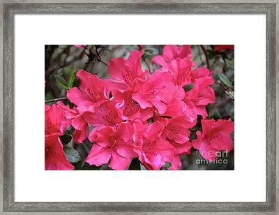Wonderful Azaleas Framed Print