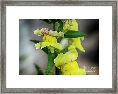 Wonderful Nature - Yellow Antirrhinum Framed Print