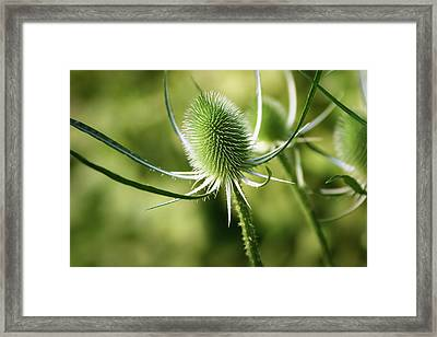 Wonderful Teasel - Framed Print