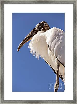 Wonderful Wood Stork Framed Print by Carol Groenen