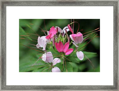 Framed Print featuring the photograph Wonders Of Cleome by Deborah  Crew-Johnson