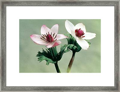 Wood Anemone Framed Print by American School