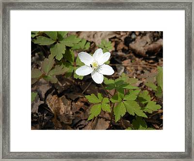 Framed Print featuring the photograph Wood Anemone by Linda Geiger