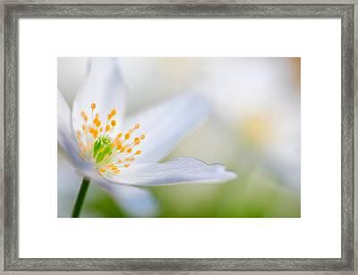Wood Anemone Spring Flower Detail Framed Print by Dirk Ercken