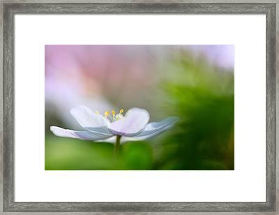 Wood Anemone Wild Flower Floating In Green Framed Print by Dirk Ercken