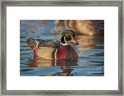Wood Duck 4 Framed Print