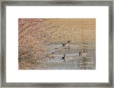 Wood Duck Colors Of Spring Framed Print by Natural Focal Point Photography