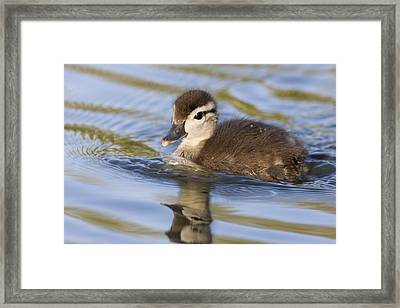 Wood Duck Duckling Swimming Santa Cruz Framed Print