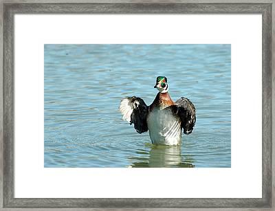 Wood Duck Flight Framed Print by Teresa Blanton