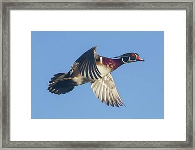 Wood Duck Flying Fast Framed Print