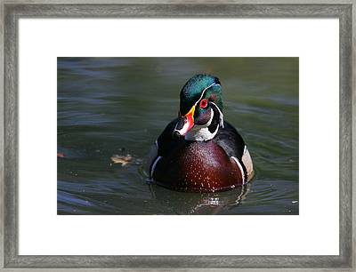 Wood Duck In City Pond Framed Print