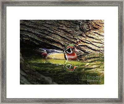 Wood Duck In Wood Framed Print