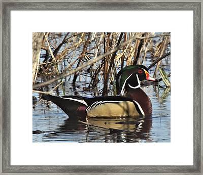 Wood Duck Framed Print by John Adams