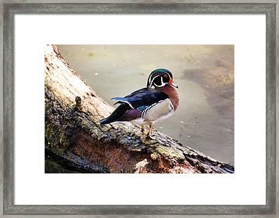 Wood Duck Framed Print by Karen M Scovill