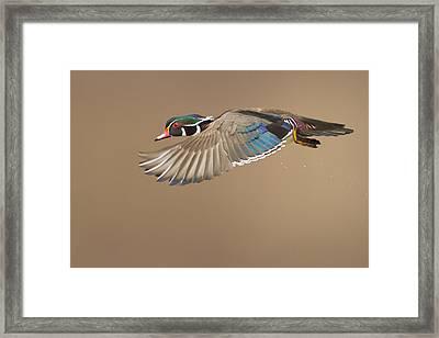Wood Duck Framed Print by Mircea Costina