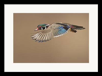 Wood Duck Framed Prints