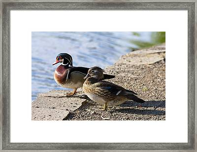 Wood Duck Pair By The Lake Framed Print by David Gn