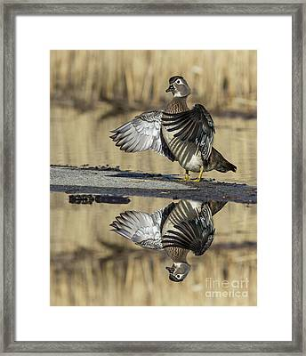 Wood Duck Reflection Framed Print