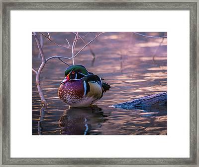 Wood Duck Resting Framed Print