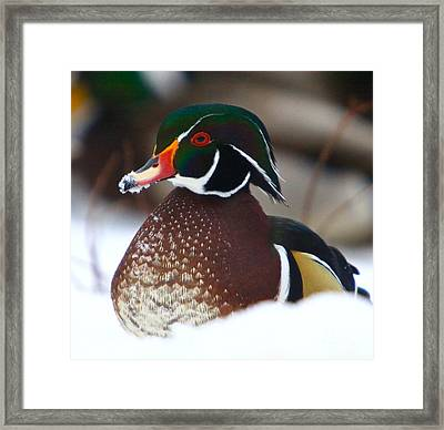 Wood Duck Framed Print by Robert Pearson