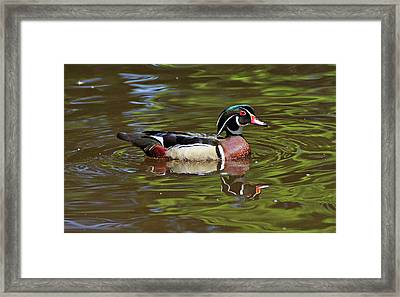 Framed Print featuring the photograph Wood Duck by Sandy Keeton