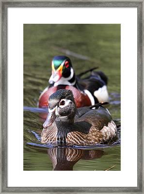 Wood Ducks At Beaver Lake Stanley Park Vancouver Canada Framed Print