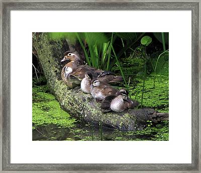 Wood Ducks On A Log Framed Print by Ann Bridges
