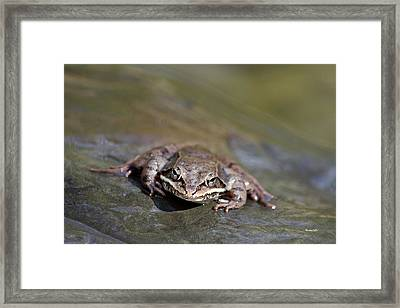 Framed Print featuring the photograph Wood Frog Close Up by Christina Rollo