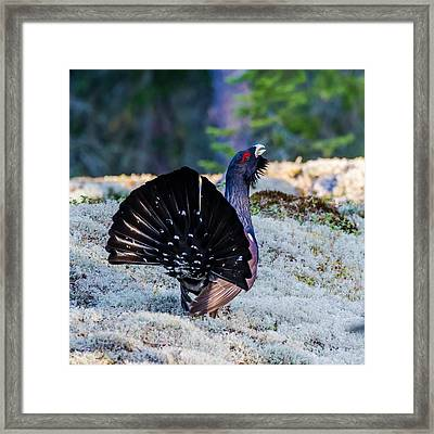 Wood Grouse's Tail Framed Print by Torbjorn Swenelius