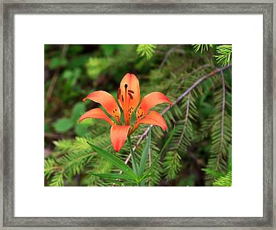 Wood Lily Also Called Prairie Lily Or Western Red Lily Framed Print by Louise Heusinkveld