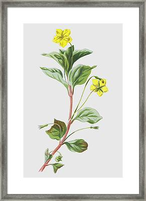 Wood Loosestrife Framed Print by Frederick Edward Hulme