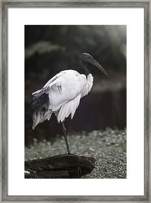 Wood Stork Framed Print by Eduard Moldoveanu