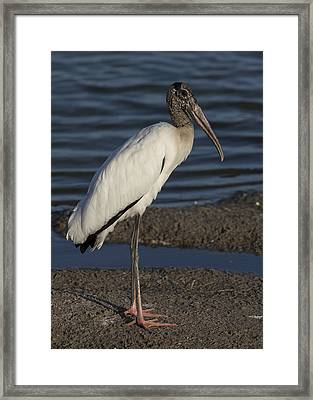 Wood Stork In The Final Light Of Day Framed Print
