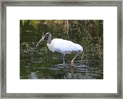 Wood Stork Through The Marsh Framed Print