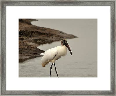 Wood Stork Walking Framed Print