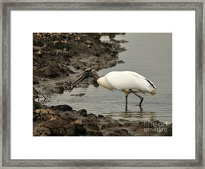 Wood Stork With Fish Framed Print by Al Powell Photography USA