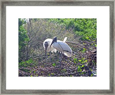 Framed Print featuring the photograph Wood Storks by Martha Ayotte