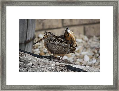 Woodcock Framed Print by Donna  Smith