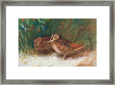 Woodcock In The Undergrowth Framed Print by Archibald Thorburn
