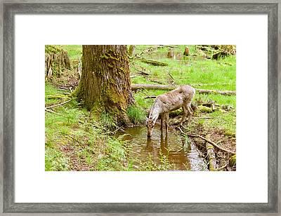 Woodland Caribou Framed Print