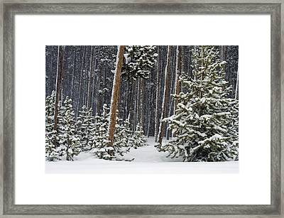 Woodland Snowstorm In Yellowstone Framed Print
