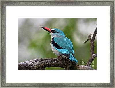 Woodlands Kingfisher Framed Print by Jennifer Ludlum