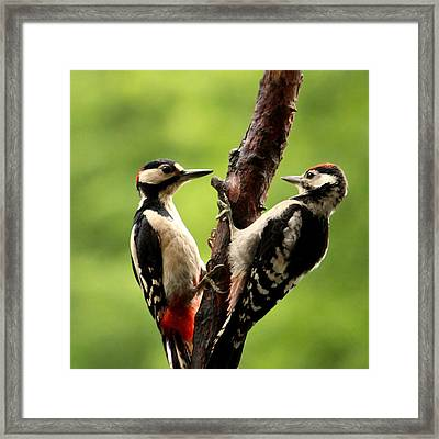 Woodpecker 7 Framed Print