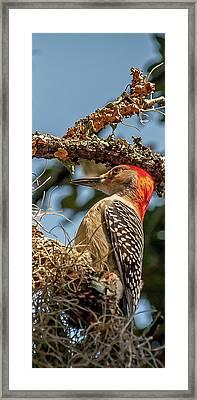 Woodpecker Closeup Framed Print