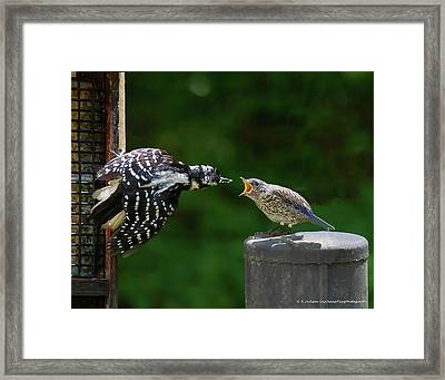 Woodpecker Feeding Bluebird Framed Print by Robert L Jackson