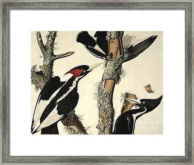 Woodpecker Framed Print by John James Audubon