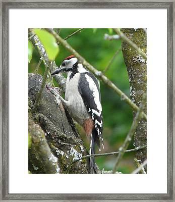 Woodpecker Framed Print by Valerie Ornstein