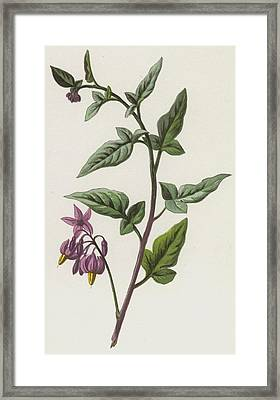 Woody Nightshade Framed Print by Frederick Edward Hulme