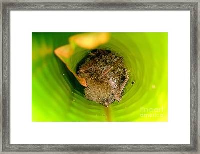 Woolly Bat Roosting In Ginger Leaf Framed Print by Fletcher & Baylis